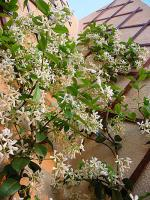 trachelospermum jasminoides jasmin toil faux jasmin confederate jasmine. Black Bedroom Furniture Sets. Home Design Ideas
