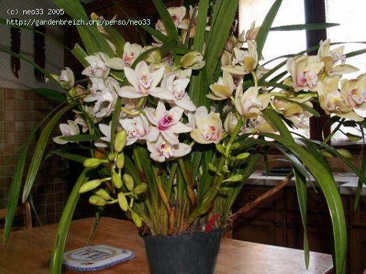 cymbidium questions r ponses forums. Black Bedroom Furniture Sets. Home Design Ideas