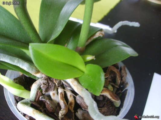 orchidee rejet