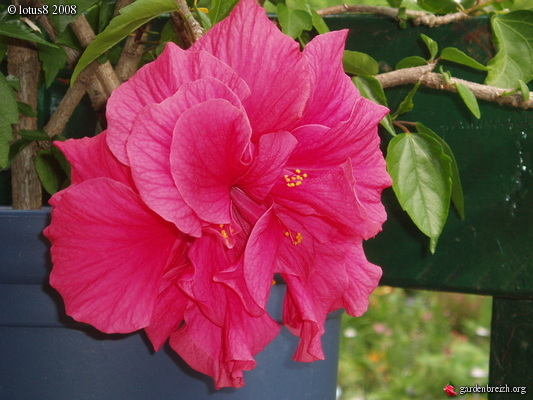 Triple Hibiscus! She is the Queen in the yard! | Hibisco ... |Triple Hibiscus