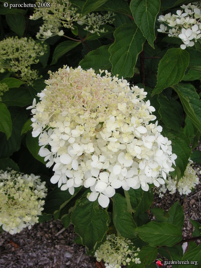 hydrangea paniculata cv hortensia et hydrangea les galeries photo de plantes de gardenbreizh. Black Bedroom Furniture Sets. Home Design Ideas