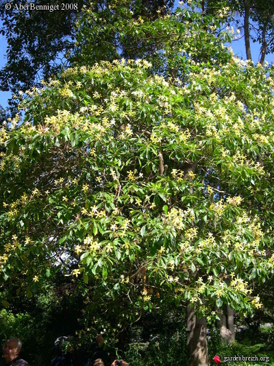 hymenosporum flavum hymenospore jasmin en arbre 007 jardin blandy quinta do palheiro. Black Bedroom Furniture Sets. Home Design Ideas