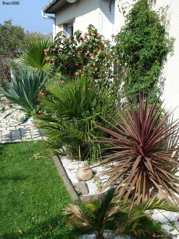 cycas revoluta cordyline purpurea chamaerops humilis jasmin abutilon beschorneria yucco de. Black Bedroom Furniture Sets. Home Design Ideas