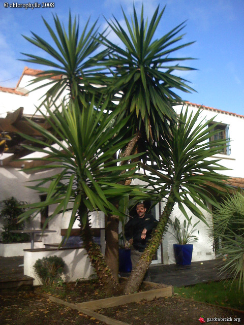 yucca l phantipes 2 d c 2008 mon jardin bouaye 44 les galeries photo de plantes de. Black Bedroom Furniture Sets. Home Design Ideas