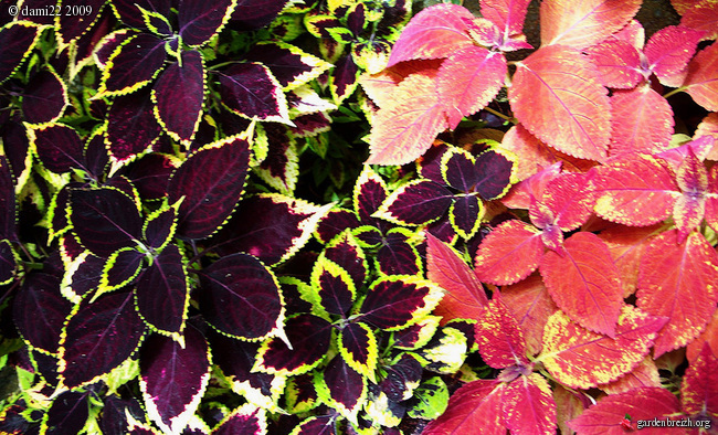 solenostemon scuttellarioides coleus fleurs plantes. Black Bedroom Furniture Sets. Home Design Ideas