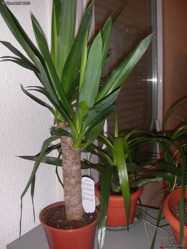 yucca dracaena draco plantes interieur les galeries photo de plantes de gardenbreizh. Black Bedroom Furniture Sets. Home Design Ideas