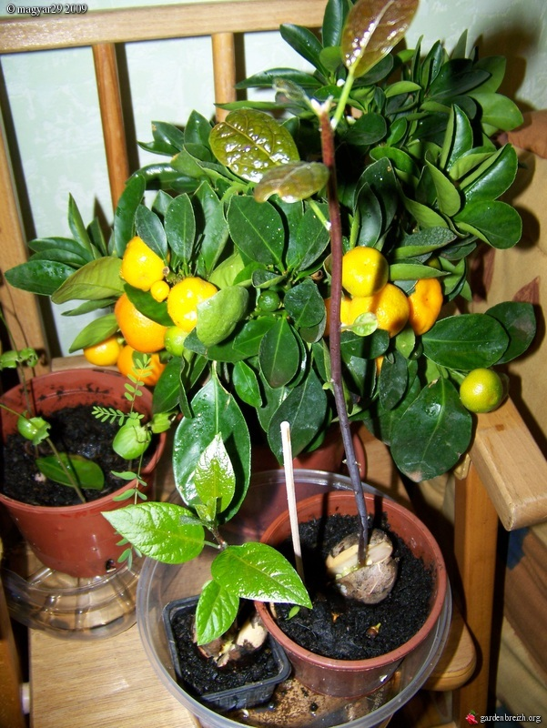 calamondin avocats de semis semis avocat les galeries photo de plantes de gardenbreizh. Black Bedroom Furniture Sets. Home Design Ideas