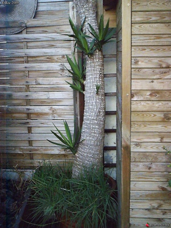 Yucca elephantipes bouture boutures rejets semis for Bouture yucca exterieur