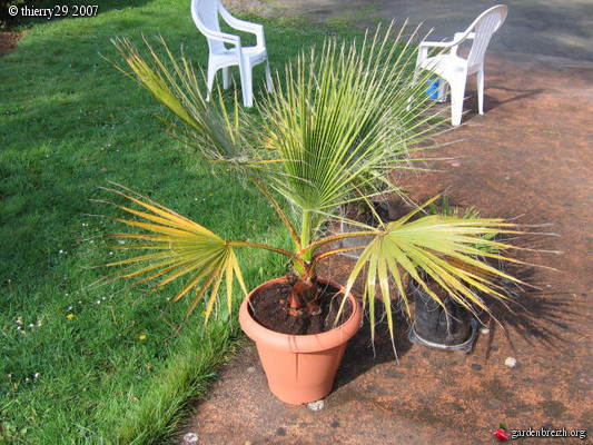 washingtonia robusta en pot mon jardin les galeries photo de plantes de gardenbreizh