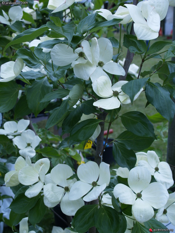 cornus venus mon jardin les galeries photo de plantes de gardenbreizh. Black Bedroom Furniture Sets. Home Design Ideas