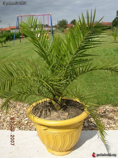 phoenix canariensis en pot mon jardin et palmiers. Black Bedroom Furniture Sets. Home Design Ideas