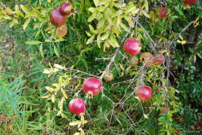 Le grenadier (punica granatum). Photos. Infos:entretien, culture. GBPIX_photo_301940