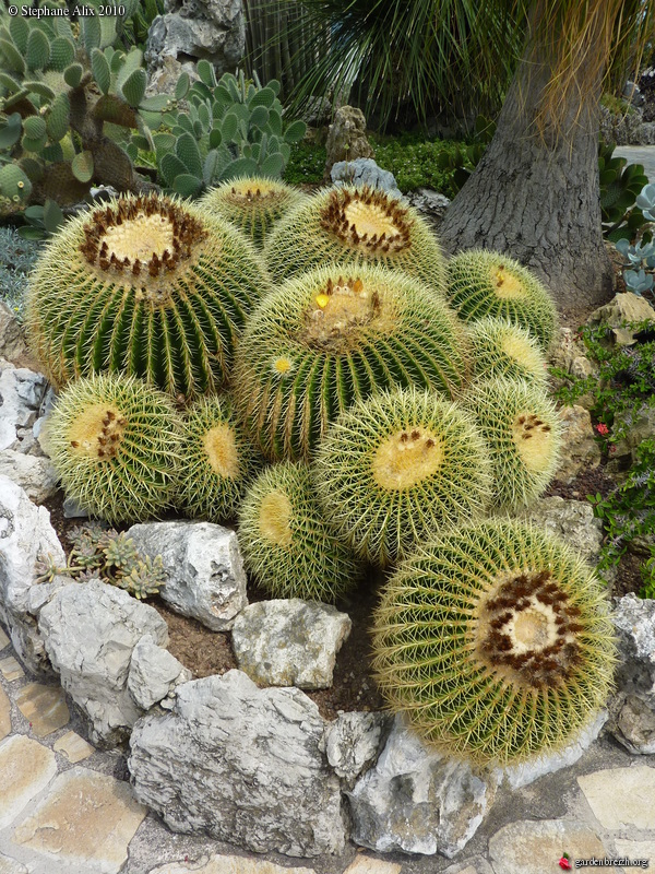 echinocactus grusonii coussin de belle m re cactus oursin jardin exotique de monaco les. Black Bedroom Furniture Sets. Home Design Ideas