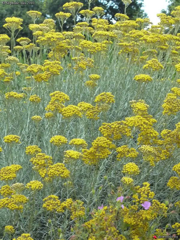 helichrysum italicum ssp 39 serotinum 39 plante curry immortelle d 39 italie h licryse italienne. Black Bedroom Furniture Sets. Home Design Ideas