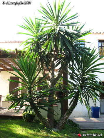 Pousse de yucca forum des fous de bambous for Protection plante gel