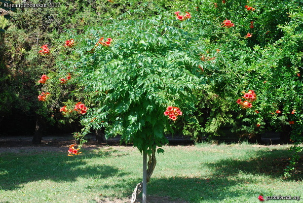 bignone campsis radicans bignoniacees mon jardin poussan. Black Bedroom Furniture Sets. Home Design Ideas