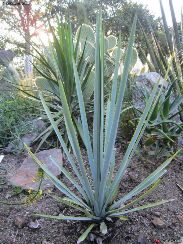 yucca rigida mon jardin 07 2011 les galeries photo de plantes de gardenbreizh. Black Bedroom Furniture Sets. Home Design Ideas