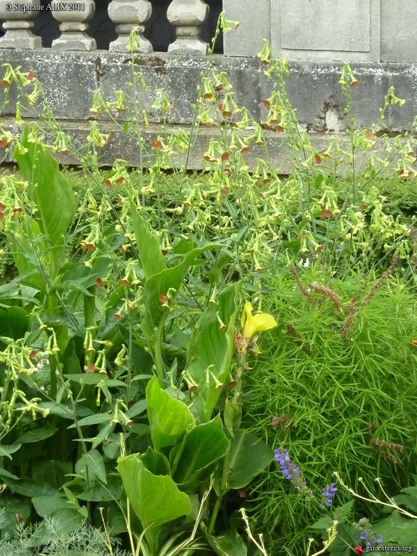 Nicotiana x hybrida 39 tinkerbell 39 tabac jardins espaces for Espace vert rennes
