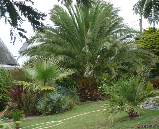 phoenix canariensis 2011 jardin finist re sud les galeries photo de plantes de gardenbreizh. Black Bedroom Furniture Sets. Home Design Ideas