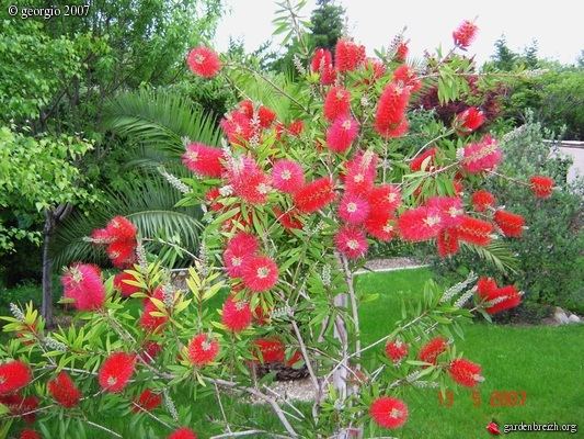 Callistemon ou rince bouteille georgio les galeries for Plante rince bouteille