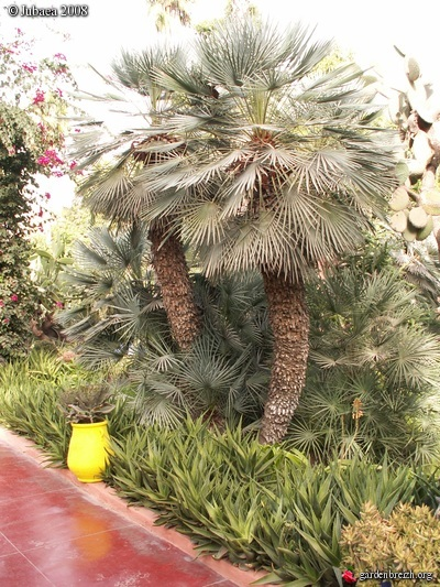 chamaerops humilis cerifera aloe x delaetii maroc. Black Bedroom Furniture Sets. Home Design Ideas