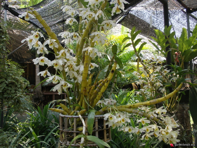 orchidee blanche bambou