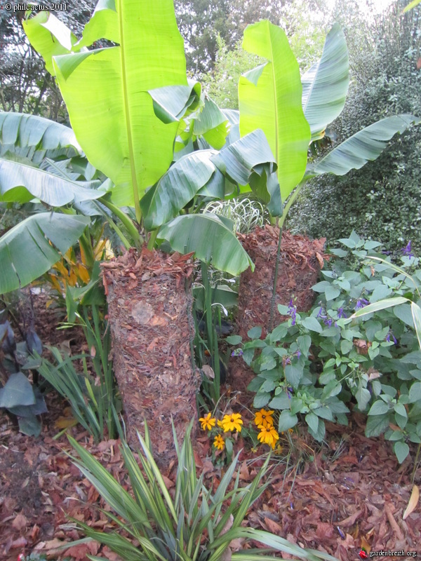 Musa sikkimensis 39 red tiger 39 protection hivernale mon for Protection hivernale plantes