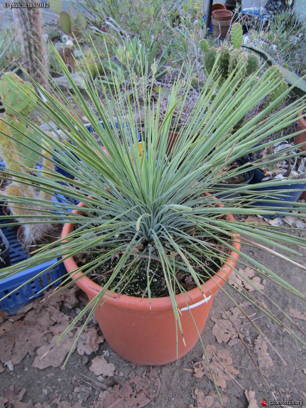 yucca linearis mon jardin 04 2012 les galeries photo de plantes de gardenbreizh. Black Bedroom Furniture Sets. Home Design Ideas