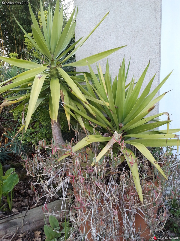 yucca elephantipes mon jardin 04 2012 les galeries photo de plantes de gardenbreizh. Black Bedroom Furniture Sets. Home Design Ideas