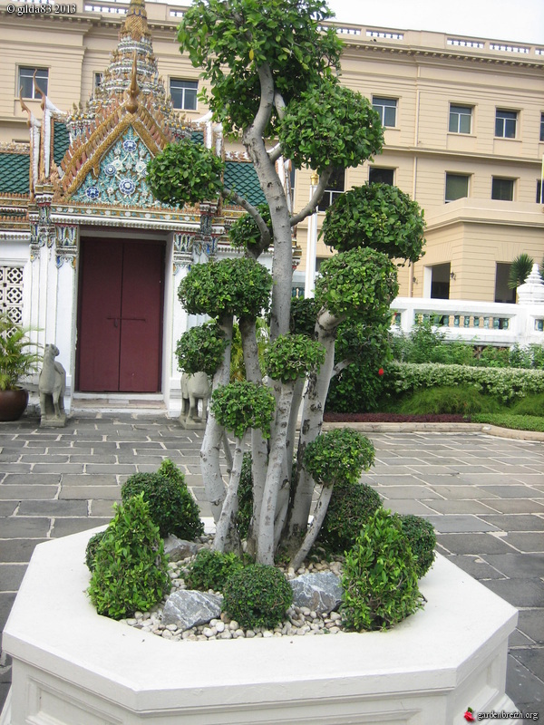 arbre taill en nuages bangkok grand palais royal et wat phra kaeo ou temple du bouddha d. Black Bedroom Furniture Sets. Home Design Ideas