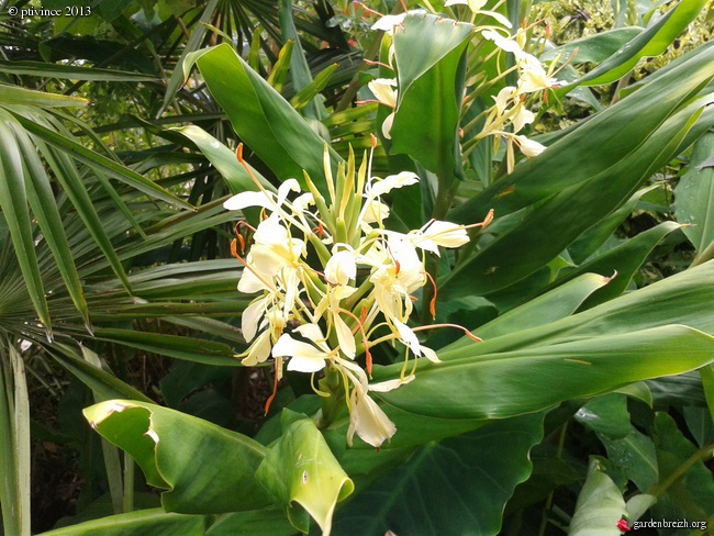 Hedychium - le genre GBPIX_photo_596337