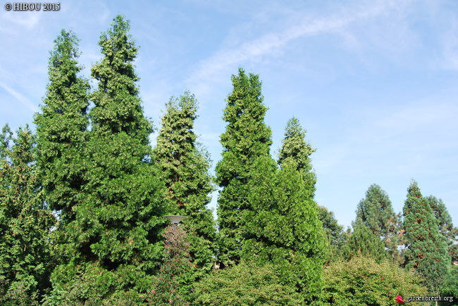 thuja occidentalis cv