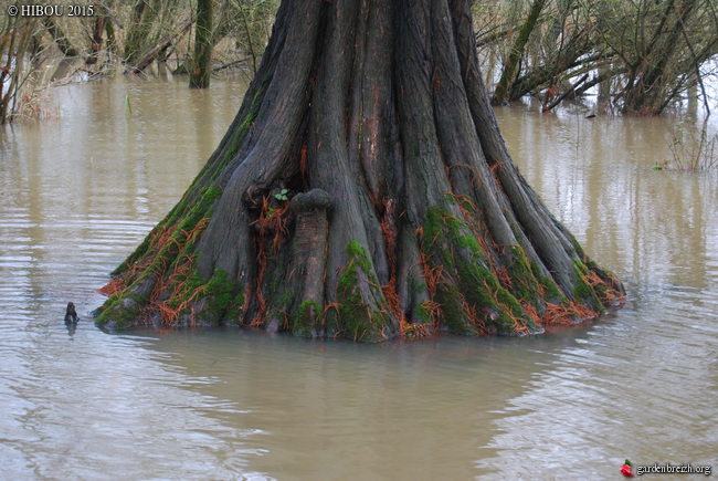 Taxodium distichum - cyprès chauve, cyprès de Louisiane  - Page 2 GBPIX_photo_660259