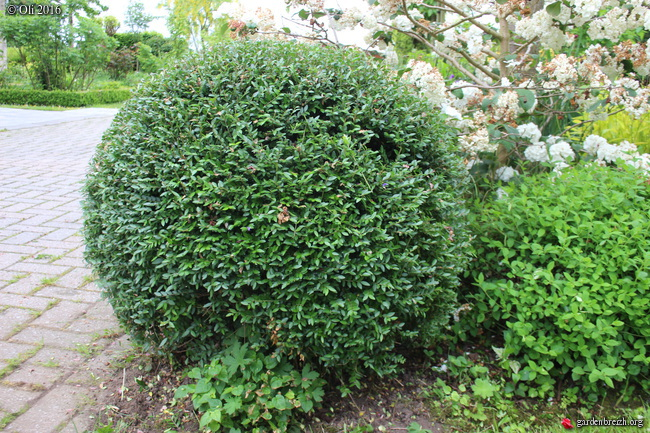 lonicera pileata taill en boule mes arbustes persistants les galeries photo de plantes de. Black Bedroom Furniture Sets. Home Design Ideas