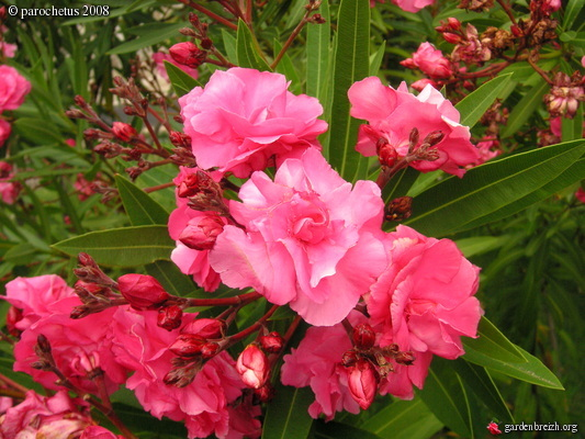 nerium oleander 39 plena 39 laurier rose double mad re 2008 shbl les galeries photo de plantes. Black Bedroom Furniture Sets. Home Design Ideas
