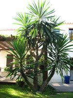 Rsistance au froid du yucca elephantipes forums plantes for Plantes exterieur resistant gel