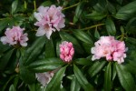 vignette Rhododendron 'Christmas Cheer'