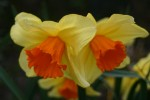 vignette Narcissus 'Border Legend'