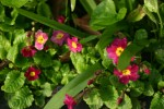vignette Primula juliae 'Ideal'