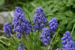 vignette Muscari armeniacum 'Early Giant'