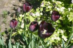 vignette Tulipa 'Queen Of Night'