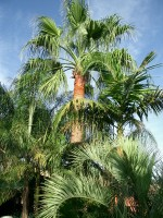 vignette Washingtonia hybride