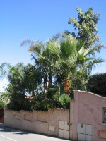 vignette Elagage Washingtonia robusta mai 2006