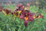vignette Hemerocallis 'Sweet Hot Chocolate'