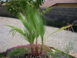 vignette Washingtonia filifera
