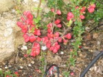 vignette Chaenomeles 'Crimson's and Gold' (cognassier)