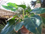 vignette Philodendron 'imperial green'