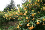 vignette Brugmansia jaune orange