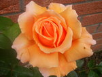 vignette ROSE ORANGE TRES ODORANTE