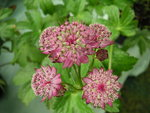 vignette Astrantia major -Astrance